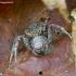 Krabvoris - Xysticus sp. ? | Fotografijos autorius : Romas Ferenca | © Macrogamta.lt | Šis tinklapis priklauso bendruomenei kuri domisi makro fotografija ir fotografuoja gyvąjį makro pasaulį.