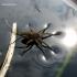 Dolomedes plantarius - Didysis plūdvoris | Fotografijos autorius : Giedrius Švitra | © Macrogamta.lt | Šis tinklapis priklauso bendruomenei kuri domisi makro fotografija ir fotografuoja gyvąjį makro pasaulį.