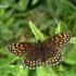Melitaea diamina - Tamsioji šaškytė | Fotografijos autorius : Deividas Makavičius | © Macrogamta.lt | Šis tinklapis priklauso bendruomenei kuri domisi makro fotografija ir fotografuoja gyvąjį makro pasaulį.