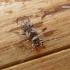 Dėmėtasis žabinukas - Pogonocherus fasciculatus | Fotografijos autorius : Deividas Makavičius | © Macrogamta.lt | Šis tinklapis priklauso bendruomenei kuri domisi makro fotografija ir fotografuoja gyvąjį makro pasaulį.