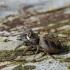 Vaivorykštinis musėgaudis - Evarcha arcuata | Fotografijos autorius : Deividas Makavičius | © Macrogamta.lt | Šis tinklapis priklauso bendruomenei kuri domisi makro fotografija ir fotografuoja gyvąjį makro pasaulį.