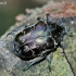 Marmurinis auksavabalis - Protaetia lugubris   Fotografijos autorius : Deividas Makavičius   © Macrogamta.lt   Šis tinklapis priklauso bendruomenei kuri domisi makro fotografija ir fotografuoja gyvąjį makro pasaulį.