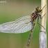 Baltakaktė skėtė - Leucorrhinia albifrons, patelė | Fotografijos autorius : Deividas Makavičius | © Macrogamta.lt | Šis tinklapis priklauso bendruomenei kuri domisi makro fotografija ir fotografuoja gyvąjį makro pasaulį.
