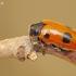 Keturtaškė klitra - Clytra quadripunctata | Fotografijos autorius : Deividas Makavičius | © Macrogamta.lt | Šis tinklapis priklauso bendruomenei kuri domisi makro fotografija ir fotografuoja gyvąjį makro pasaulį.
