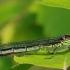 Raudonakė strėliukė, patelė - Erythromma najas | Fotografijos autorius : Deividas Makavičius | © Macrogamta.lt | Šis tinklapis priklauso bendruomenei kuri domisi makro fotografija ir fotografuoja gyvąjį makro pasaulį.