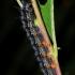 Raudonjuostė pleštekė, vikšras - Nymphalis xanthomelas | Fotografijos autorius : Deividas Makavičius | © Macrogamta.lt | Šis tinklapis priklauso bendruomenei kuri domisi makro fotografija ir fotografuoja gyvąjį makro pasaulį.