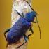Violetinis žievėplėšis - Callidium violaceum   Fotografijos autorius : Deividas Makavičius   © Macrogamta.lt   Šis tinklapis priklauso bendruomenei kuri domisi makro fotografija ir fotografuoja gyvąjį makro pasaulį.