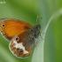 Krūminis satyriukas - Coenonympha arcania | Fotografijos autorius : Deividas Makavičius | © Macrogamta.lt | Šis tinklapis priklauso bendruomenei kuri domisi makro fotografija ir fotografuoja gyvąjį makro pasaulį.