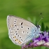 Didysis melsvys - Polyommatus amandus | Fotografijos autorius : Deividas Makavičius | © Macrogamta.lt | Šis tinklapis priklauso bendruomenei kuri domisi makro fotografija ir fotografuoja gyvąjį makro pasaulį.