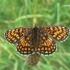 Melitaea athalia - Paprastoji šaškytė | Fotografijos autorius : Deividas Makavičius | © Macrogamta.lt | Šis tinklapis priklauso bendruomenei kuri domisi makro fotografija ir fotografuoja gyvąjį makro pasaulį.