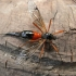 Tanyptera atrata - Ilgakojis uodas | Fotografijos autorius : Deividas Makavičius | © Macrogamta.lt | Šis tinklapis priklauso bendruomenei kuri domisi makro fotografija ir fotografuoja gyvąjį makro pasaulį.