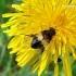 Leucozona lucorum - Žiedmusė | Fotografijos autorius : Deividas Makavičius | © Macrogamta.lt | Šis tinklapis priklauso bendruomenei kuri domisi makro fotografija ir fotografuoja gyvąjį makro pasaulį.