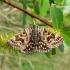 Pilkasis dobilinukas - Euclidia mi    Fotografijos autorius : Deividas Makavičius   © Macrogamta.lt   Šis tinklapis priklauso bendruomenei kuri domisi makro fotografija ir fotografuoja gyvąjį makro pasaulį.