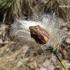 Eurygaster testudinaria - Lenktagalvė vėžliablakė | Fotografijos autorius : Deividas Makavičius | © Macrogamta.lt | Šis tinklapis priklauso bendruomenei kuri domisi makro fotografija ir fotografuoja gyvąjį makro pasaulį.