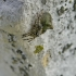 Gibbaranea gibbosa - Žalsvasis kuprius   Fotografijos autorius : Deividas Makavičius   © Macrogamta.lt   Šis tinklapis priklauso bendruomenei kuri domisi makro fotografija ir fotografuoja gyvąjį makro pasaulį.