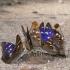 Apatura ilia - Puošnioji vaiva   Fotografijos autorius : Deividas Makavičius   © Macrogamta.lt   Šis tinklapis priklauso bendruomenei kuri domisi makro fotografija ir fotografuoja gyvąjį makro pasaulį.