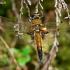 Keturtaškė skėtė - Libellula quadrimaculata praenubila | Fotografijos autorius : Deividas Makavičius | © Macrogamta.lt | Šis tinklapis priklauso bendruomenei kuri domisi makro fotografija ir fotografuoja gyvąjį makro pasaulį.