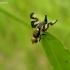 Daginė margasparnė - Urophora cardui | Fotografijos autorius : Nomeda Vėlavičienė | © Macrogamta.lt | Šis tinklapis priklauso bendruomenei kuri domisi makro fotografija ir fotografuoja gyvąjį makro pasaulį.