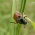Phyllopertha horticola - Grikinukas / Sodinis grambuoliukas | Fotografijos autorius : Nomeda Vėlavičienė | © Macrogamta.lt | Šis tinklapis priklauso bendruomenei kuri domisi makro fotografija ir fotografuoja gyvąjį makro pasaulį.
