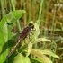 Leucorrhinia pectoralis - Šarvuotoji skėtė | Fotografijos autorius : Nomeda Vėlavičienė | © Macrogamta.lt | Šis tinklapis priklauso bendruomenei kuri domisi makro fotografija ir fotografuoja gyvąjį makro pasaulį.