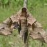 Smerinthus ocellatus - Akiuotasis sfinksas | Fotografijos autorius : Nomeda Vėlavičienė | © Macrogamta.lt | Šis tinklapis priklauso bendruomenei kuri domisi makro fotografija ir fotografuoja gyvąjį makro pasaulį.