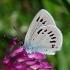 Cyaniris [=Polyommatus] semiargus - Pilkasis melsvys   Fotografijos autorius : Nomeda Vėlavičienė   © Macrogamta.lt   Šis tinklapis priklauso bendruomenei kuri domisi makro fotografija ir fotografuoja gyvąjį makro pasaulį.
