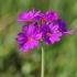 Raktažolė pelenėlė - Primula farinosa | Fotografijos autorius : Nomeda Vėlavičienė | © Macrogamta.lt | Šis tinklapis priklauso bendruomenei kuri domisi makro fotografija ir fotografuoja gyvąjį makro pasaulį.