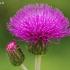 Įvairialapė usnis - Cirsium heterophyllum | Fotografijos autorius : Nomeda Vėlavičienė | © Macrogamta.lt | Šis tinklapis priklauso bendruomenei kuri domisi makro fotografija ir fotografuoja gyvąjį makro pasaulį.