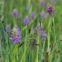 Baltijinė gegūnė - Dactylorhiza majalis subsp. baltica | Fotografijos autorius : Nomeda Vėlavičienė | © Macrogamta.lt | Šis tinklapis priklauso bendruomenei kuri domisi makro fotografija ir fotografuoja gyvąjį makro pasaulį.