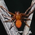 Rausvapilvis kryžiuotis - Araneus alsine, patinas | Fotografijos autorius : Nomeda Vėlavičienė | © Macrogamta.lt | Šis tinklapis priklauso bendruomenei kuri domisi makro fotografija ir fotografuoja gyvąjį makro pasaulį.