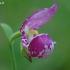 Klumpaitė - Cypripedium guttatum | Fotografijos autorius : Nomeda Vėlavičienė | © Macrogamta.lt | Šis tinklapis priklauso bendruomenei kuri domisi makro fotografija ir fotografuoja gyvąjį makro pasaulį.