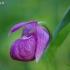 Klumpaitė - Cypripedium macranthos | Fotografijos autorius : Nomeda Vėlavičienė | © Macrogamta.lt | Šis tinklapis priklauso bendruomenei kuri domisi makro fotografija ir fotografuoja gyvąjį makro pasaulį.