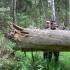 Stora buvo eglė, stora........ | Fotografijos autorius : Nomeda Vėlavičienė | © Macrogamta.lt | Šis tinklapis priklauso bendruomenei kuri domisi makro fotografija ir fotografuoja gyvąjį makro pasaulį.