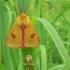 Diacrisia sannio - Pievinė meškutė | Fotografijos autorius : Nomeda Vėlavičienė | © Macrogamta.lt | Šis tinklapis priklauso bendruomenei kuri domisi makro fotografija ir fotografuoja gyvąjį makro pasaulį.
