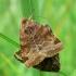 Euclidia glyphica - Rusvasis dobilinukas | Fotografijos autorius : Nomeda Vėlavičienė | © Macrogamta.lt | Šis tinklapis priklauso bendruomenei kuri domisi makro fotografija ir fotografuoja gyvąjį makro pasaulį.