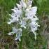 Šalmuotoji gegužraibė - Orchis militaris f. albiflora | Fotografijos autorius : Nomeda Vėlavičienė | © Macrogamta.lt | Šis tinklapis priklauso bendruomenei kuri domisi makro fotografija ir fotografuoja gyvąjį makro pasaulį.