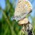 Polyommatus icarus - Dirvinis melsvys   Fotografijos autorius : Aivaras Banevičius   © Macrogamta.lt   Šis tinklapis priklauso bendruomenei kuri domisi makro fotografija ir fotografuoja gyvąjį makro pasaulį.