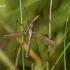 Tipulidae - Ilgakojis uodas | Fotografijos autorius : Valdimantas Grigonis | © Macrogamta.lt | Šis tinklapis priklauso bendruomenei kuri domisi makro fotografija ir fotografuoja gyvąjį makro pasaulį.