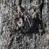 Oxyopes ramosus - Raštuotasis lūšiavoris   Fotografijos autorius : Valdimantas Grigonis   © Macrogamta.lt   Šis tinklapis priklauso bendruomenei kuri domisi makro fotografija ir fotografuoja gyvąjį makro pasaulį.
