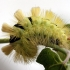 Calliteara pudibunda - Raudonuodegis verpikas   Fotografijos autorius : Valdimantas Grigonis   © Macrogamta.lt   Šis tinklapis priklauso bendruomenei kuri domisi makro fotografija ir fotografuoja gyvąjį makro pasaulį.