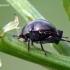 Coptosoma scutellatum - Dobilinė kamuolblakė | Fotografijos autorius : Valdimantas Grigonis | © Macrogamta.lt | Šis tinklapis priklauso bendruomenei kuri domisi makro fotografija ir fotografuoja gyvąjį makro pasaulį.