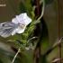 Pieris napi - Griežtinis baltukas | Fotografijos autorius : Valdimantas Grigonis | © Macrogamta.lt | Šis tinklapis priklauso bendruomenei kuri domisi makro fotografija ir fotografuoja gyvąjį makro pasaulį.