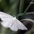 Siona lineata - Gyslotasis sprindžius | Fotografijos autorius : Valdimantas Grigonis | © Macrogamta.lt | Šis tinklapis priklauso bendruomenei kuri domisi makro fotografija ir fotografuoja gyvąjį makro pasaulį.