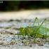 Žiogas giesmininkas - Tettigonia cantans   Fotografijos autorius : Valdimantas Grigonis   © Macrogamta.lt   Šis tinklapis priklauso bendruomenei kuri domisi makro fotografija ir fotografuoja gyvąjį makro pasaulį.