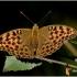 Argynnis paphia - Didysis perlinukas   Fotografijos autorius : Valdimantas Grigonis   © Macrogamta.lt   Šis tinklapis priklauso bendruomenei kuri domisi makro fotografija ir fotografuoja gyvąjį makro pasaulį.