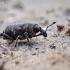Mažasis pušinis straubliukas - Hylobius pinastri | Fotografijos autorius : Vilius Grigaliūnas | © Macrogamta.lt | Šis tinklapis priklauso bendruomenei kuri domisi makro fotografija ir fotografuoja gyvąjį makro pasaulį.