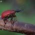 Lazdyninis cigarsukis - Apoderus coryli  | Fotografijos autorius : Vilius Grigaliūnas | © Macrogamta.lt | Šis tinklapis priklauso bendruomenei kuri domisi makro fotografija ir fotografuoja gyvąjį makro pasaulį.