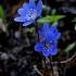 Triskiautė žibutė - Hepatica nobilis | Fotografijos autorius : Rasa Gražulevičiūtė | © Macrogamta.lt | Šis tinklapis priklauso bendruomenei kuri domisi makro fotografija ir fotografuoja gyvąjį makro pasaulį.
