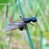 Formica polyctena - Mažoji miško skruzdėlė | Fotografijos autorius : Rasa Gražulevičiūtė | © Macrogamta.lt | Šis tinklapis priklauso bendruomenei kuri domisi makro fotografija ir fotografuoja gyvąjį makro pasaulį.
