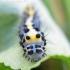 Diloba caeruleocephala - Mėlyngalvė diloba | Fotografijos autorius : Rasa Gražulevičiūtė | © Macrogamta.lt | Šis tinklapis priklauso bendruomenei kuri domisi makro fotografija ir fotografuoja gyvąjį makro pasaulį.